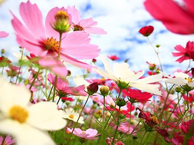 【南投花卉嘉年華】秋豔波斯菊 徜徉花海樂
