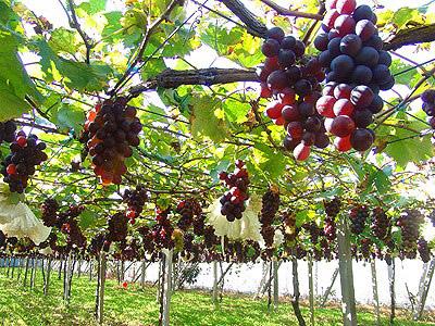 快樂採果農 季節限定葡萄新鮮嚐