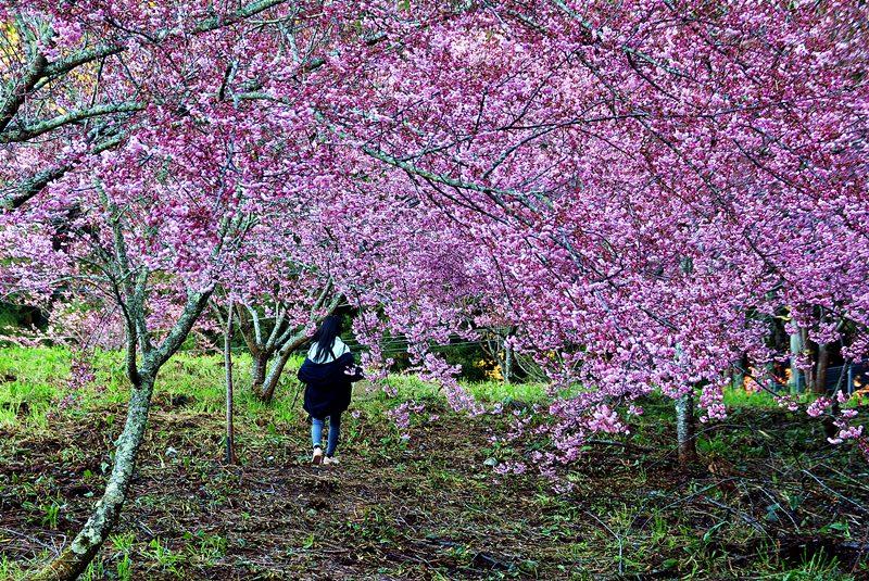 台湾绝美赏樱景点 武陵农场VS.福寿山农场 三天两夜高山世外桃源行